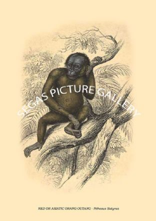 RED OR ASIATIC ORANG-OUTANG -- Pithecus Satyrus